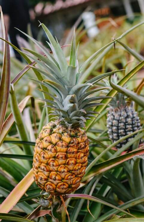 ananas u rastu