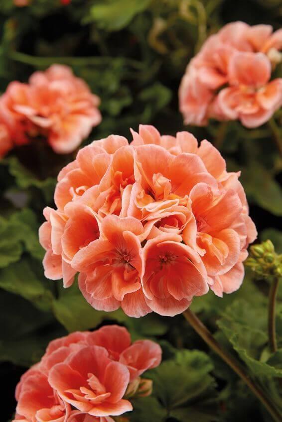 pelargonije cvijet